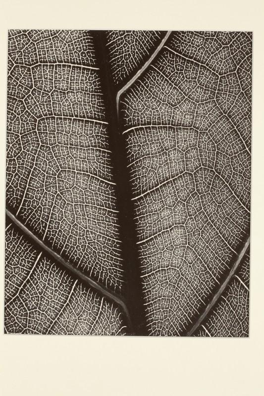 Eugen Wiškovský: Nervatura listu, 1929, pozdější zvětšenina 199